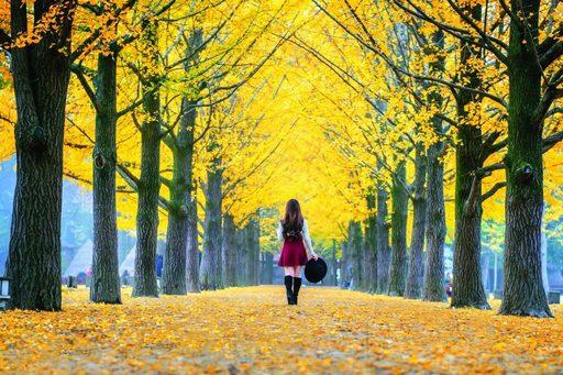 """Mùa thu """"phủ vàng"""" trên những hàng cây ngân hạnh"""